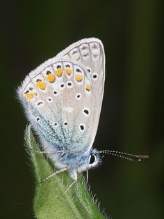 The Common Blue (Polyommatus icarus) is a small butterfly in the family Lycaenidae, widespread over much of the Palaearctic region and recently introduced in eastern Canada.