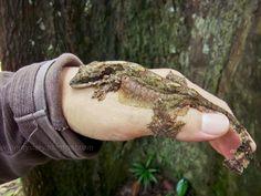 Kuhl's flying gecko, Ptychozoon kuhli