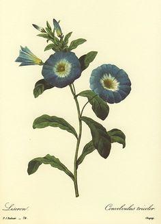 ルドゥーテ「ブルーの朝顔」あさがおの絵(アサガオの絵)商品販売ページ