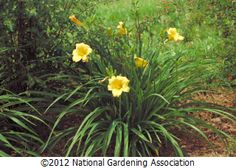 Day Lily 'Stella d'Oro'  NGA Plant Finder :: National Gardening Association