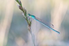 Photograph Blue-Tailed Damselfly by Guillaume L. on 500px