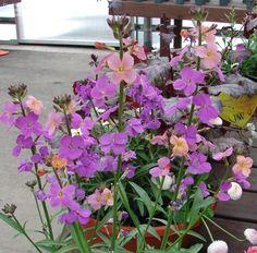 Wallflower 'Sweet Sorbet'  Erysimum