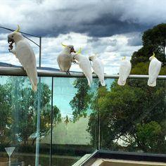 #cockatoos enjoying #lunch #lorne #australia by gamzemelist http://ift.tt/1IIGiLS