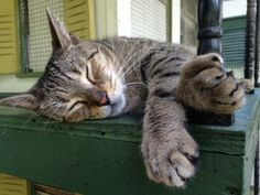 The Hemingway Cats and a Key West Mystery - The Conscious Cat: Duke Ellington, one of the residents at the Hemingway House