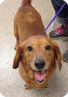 Basset Hound/Labrador Retriever Mix Dog for adoption in Gainesville, Florida - Jet