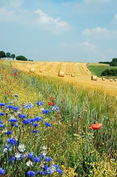 Summer field in Belgium (Hamois). The blue flower is Centaurea cyanus and the red one a Papaver rhoeas ~ photo Luc Viatour (http://www.lucnix.be/main.php)
