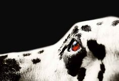 The Amber Eye. Kokkie. Dalmation Dog (Ltd Edition of only 20 Fine Art Giclee Prints from an original photograph) (2014) Colour photograph (Giclée) by Jenny Rainbow | Artfinder