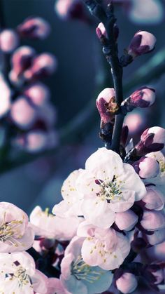 Apple iPhone 6 Wallpaper with Cherry Blossom Flower #iphone #iphone6…