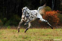Knabstrupper stallion Salinero