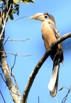 Austen's Brown Hornbill (Anorrhinus austeni) a bird perched high on a tree