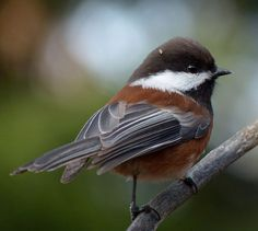 Chestnut Backed Chickadee (Poecile rufescens) by Eugene Beckes. This chichadee is found in the Pacific Northwest of the United States and western Canada.