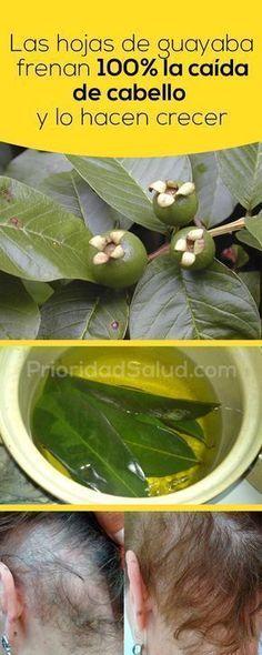 Las hojas de guayaba frenan 100% la caída de cabello y lo hacen crecen como nunca, si las usas de esta forma, así aprovecharás de todos los beneficios de esa planta para tu pelo.