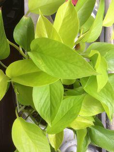 Pothos Neon - Epipremnum Pinnatum