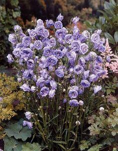 Campanula persicifolia 'LA Belle'(LA BELLE BELLFLOWER)