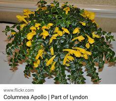Goldfish Plant, Lipstick Plant, Photosynthesis, Green Grass, Houseplants, Indoor Plants, Shrubs, Vines, Gardening
