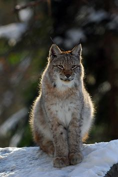 Magnificent lynx.