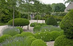 Arne Maynard: The limestone chipping surface is planted with low box hedges which form a criss cross pattern - a contemporary version of a knot garden- which is peppered with aromatic lavenders and sages. Oxeye daisies float above the line of the hedges and in between the sculptural, clipped topiary shapes that punctuate the knot.