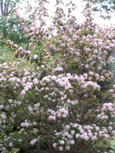 Viburnum plicatum 'Kern's Pink' Japanese Snowball Viburnum from Quackin Grass Nursery