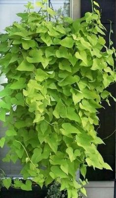 Garden Design Ideas : How to Grow A Sweet Potato Vine Plant Outdoor Plants, Garden Plants, Outdoor Gardens, Potted Plants Patio, Container Plants, Container Gardening, Growing Sweet Potatoes, Grow Potatoes, Hanging Plants