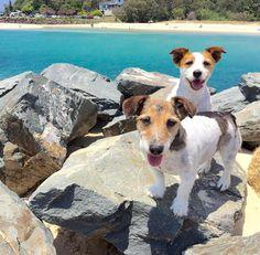 Happy puppies  #beach #currumbin #currumbinbeach #JRT #jackrussell #jackrusselllovers #jackrussellterrier #jackrussellsofinstagram #jackrussellmoments #dogs #animalheartedcommunity #doglover #dogstagram #dogsofinstagram #dogsofinstaworld #AMAZING_AUSTRALIA_ #ausfeels #australia #discoverqueensland #goldcoast4U #igersgoldcoast #ig_australia #queensland #queensland_captures #socialife.australia #sunny_queensland #thisisqueensland #visitqueensland #visitgoldcoast  #wow_australia by…