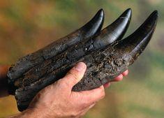 T-rex teeth.- TYRANNOSAURUS, ou Tyrannosaure, est un genre de dinosaure Théropode ayant vécu à l'extrême fin du Crétacé (Campanien et Maastrichtien il y a environ 65 à 70 Ma) dans ce qui est actuellement l'Amérique du N. Il fut l'un des derniers dinosaures non-avien à avoir vécu jusqu'à l'extinction survenue à la limite Crétacé-Paléocène il y a 65 Ma. Il avait plus de 18 m de longueur, 4 m de hauteur de hanches et un poids pouvant atteindre 6,7 tonnes.