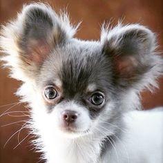 Aye Chihuahua Te Quiero!!!