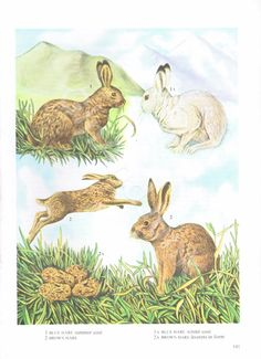 Vintage Mammals Coloured Book Plate Hares Ideal For Hare Pictures, Vertebrates, Mammals, Coloring Books, Moose Art, Etsy Shop, Animal Prints, Plate, Vintage