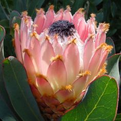 Protea - Поиск в Google