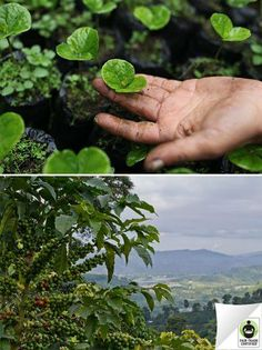 Did you know it takes 3 years for a #coffee plant to go from seedling to producing coffee beans? Press 'like' if you're grateful for all the time farmers invest in growing these plants! #FairTrade #DidYouKnow