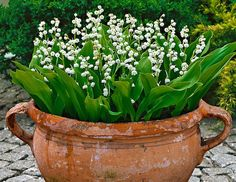 Love Lily of the Valley! Also makes a wonderful ground cover perennial. The very fragrant flowers appear in abundance in April and May. They are ideal for growing in wild or woodland gardens or use for ground cover in a damp shaded border. Container Plants, Container Gardening, Gardening Tips, Organic Gardening, Gardening Services, Vegetable Gardening, Woodland Garden, Woodland Plants, Garden Planters