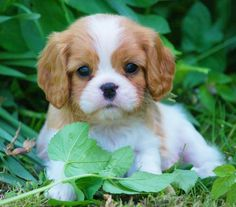 I am SOOOOOO getting a Cavalier King Charles Spaniel!!! Cutest thing EVER!