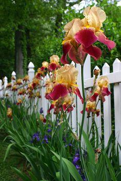I love Iris. Iris garden along the fence. Iris Garden, Garden Plants, Colorful Roses, My Secret Garden, Dream Garden, Garden Inspiration, Garden Landscaping, Fence Garden, Hydrangeas