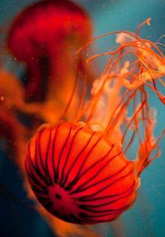 Jellyfish are my absolute favorite sea animals Underwater Creatures, Underwater Life, Ocean Creatures, Underwater Animals, Vida Animal, Mundo Animal, Medusa, Beautiful Creatures, Animals Beautiful