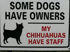 Some dogs have owners - My chihuahuas have staff....Asi era mi bello THOR...era el jefe