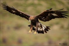 Популярные на #500px : Aguila real felidigoras