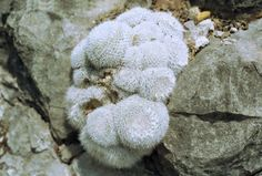 Mammillaria klissingiana - ML 470 - Photo : Michel Lacoste