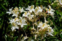 White lilies blooming wild in California's Sequoia National Park. ©Photo copyright by Marty Nelson. Photographer website:  http://martynelsonphotoart.wix.com/mn-photo-art
