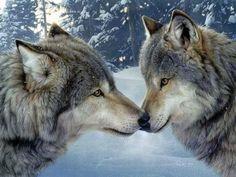 lobos un bacio sul naso