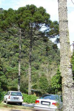 Araucaria angustifolia, Brazilan pine,  native to Brazil