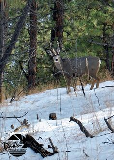 Deer in The Black Hills of SD  credit:Dawn Paul. Went to HS with Dawn!