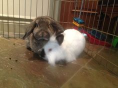 Rescued bonded bunnies ready for new home to amuse, delight and be loved