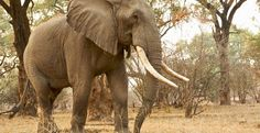 Help Stop the Slaughter of Elephants http://tak.pt/i/ft9WvGzc via @TakePart