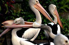 Week in wildlife: Australian Pelicans play at Ragunan Zoo in Jakarta