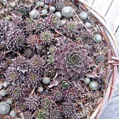 Sempervivum can survive frost.