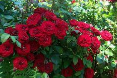 Rose 'Lavaglut'