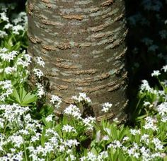 The Good, the Bad, and the Ugly of Shade Ground Covers: Sweet Woodruff: Ground Cover for Shade to Grow Under Trees