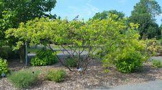 l'Orme de Samarie (Ptelea trifoliata) Ptelea est un genre de la famille des Rutacées (famille des agrumes) comprenant une seule espèce, Ptelea trifoliata, l'Orme de Samarie. C'est un arbuste ou un petit arbre de 6 à 8 m de haut originaire d'Amérique du Nord. Ptelea trifoliata est un petit arbre, ou souvent un arbuste possédant plusieurs troncs grêles. Il fait partie des sous-bois de la vallée du Mississippi et est trouvé le plus souvent sur les pentes rocailleuses. Ses racines épaisses se…