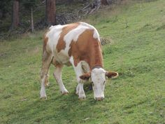 Kráva - Cow - Alpes - Austria - 2013