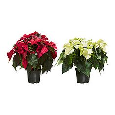 Visit IKEA online to browse our range of garden decoration, and find plenty of home furnishing ideas and inspiration. Leafy Plants, Potted Plants, Cactus Plants, Poinsettia, Ikea Christmas Decorations, Holiday Decor, Indoor Plants Online, Traditional Christmas Food