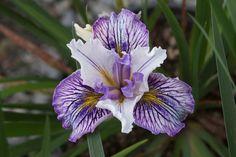 Iris PCH 'Amethyst Cloud'